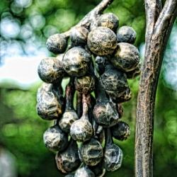 Кованый виноград 3